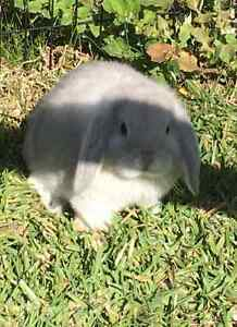 SMOKE PEARL DOE MINI LOP READY NOW Joondalup Joondalup Area Preview