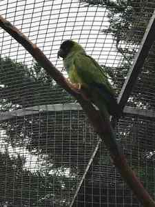 NANDAY CONURE Langwarrin Frankston Area Preview