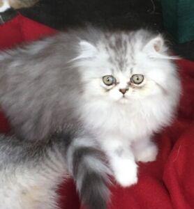 EXOTIC PERSIAN KITTEN