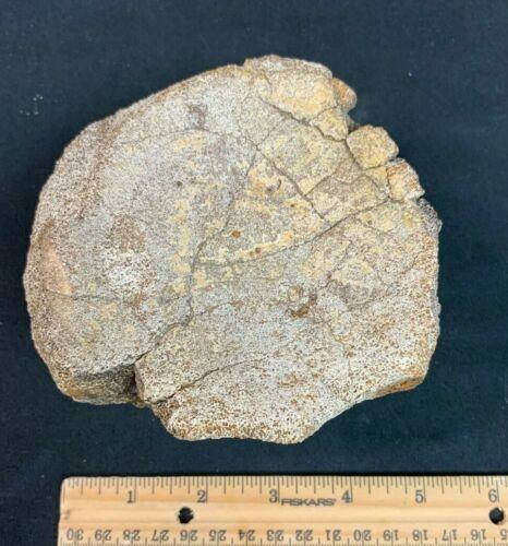 Hell Creek Dinosaur Fossil Vertebra Centrum 🦖 Fossilized Dino Bone Vertebrae 🦕