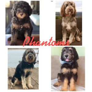 Lovely French Bulldog Bouledogues Francais Dogs