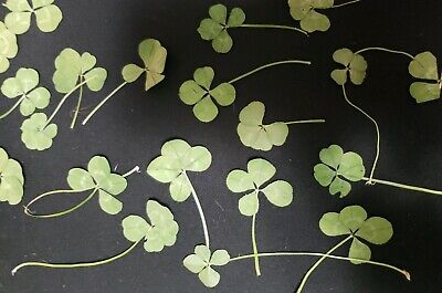Real Four Leaf Clover - Small Size - 4 Leaf Clover - Good Luck Item - Good Luck Items