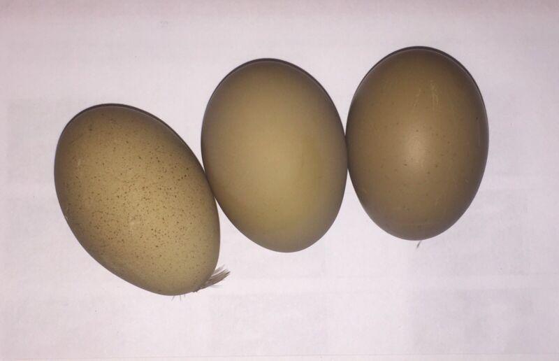 NPIP 12 F3-f4 Olive Egger Hatching Eggs!