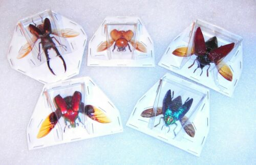 Taxidermy Insects  5 Different Species Spread Ready for Framing or Jewelry