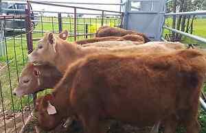 4 Heifers 1 steer. Thoona Benalla Area Preview