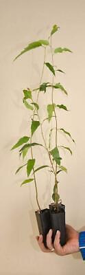 Eucalyptus regnans Mountain Ash Tree 50 Seeds #Eucalyptus ()