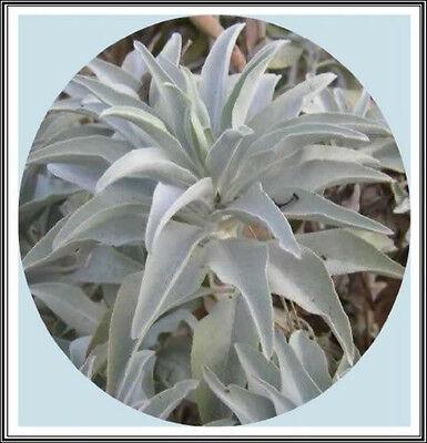 400mg California White Sage 200+ Seeds~Sacred Salvia Apiana Ceremonial Aromatic