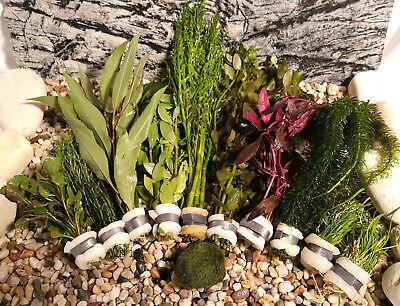 Aquariumpflanzen Set 10 XXL Bunde, Aquarienpflanzen, Wasserpflanzen, Dicke Bunde (Fisch-aquarium Pflanzen)