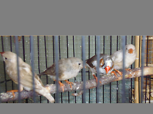 BIRD SALE!!! FINCHES AND QUAILS Taylors Lakes Brimbank Area Preview