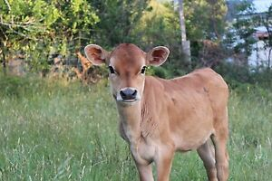 Jersey heifer for swap or sale Mole Creek Meander Valley Preview