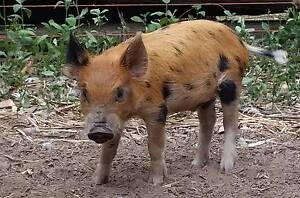 Miniature piglet for sale Corindi Beach Coffs Harbour Area Preview