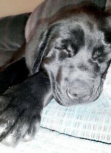 Black Lab Puppies - Only one left!