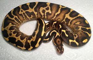 Leopard Freeway Ball Python