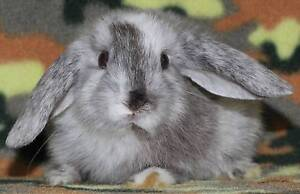BABY MINI LOPS & DWARFS (AND BRAND-NEW CAGES/HUTCHES) FROM $20 Clayton Monash Area Preview