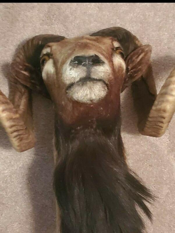 RAM TAXIDERMY HEAD