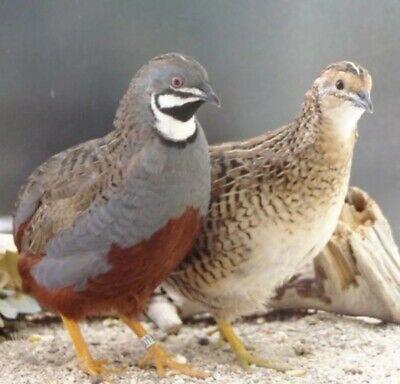 18 Button Quail Hatching Eggs