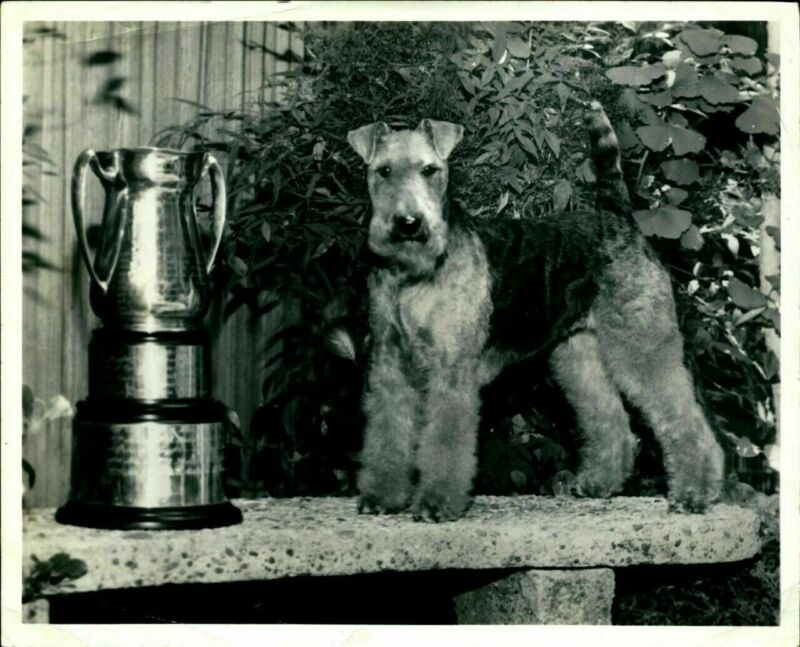 Vtg Photo Airedale Terrier Champion Dog Trophy Winner Posing Pet Puppy 8x10 RARE