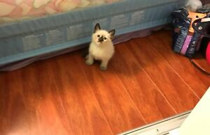 8 weeks Ragdoll Blue eyes Males kittens for Adoption