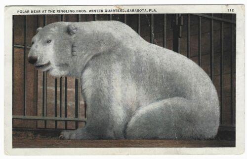 Vintage Postcard - Polar Bear - Ringling Bros. Circus - Sarasota Florida