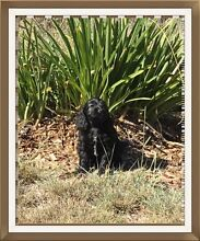 Spoodle puppy Inverell Inverell Area Preview