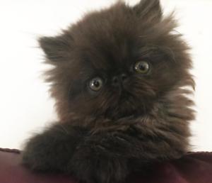 Pedigree Persian Kitten for adoption (QFA 1251 )