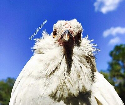 6 Rare Exotic Lavender Americana Chicken Hatching Eggs