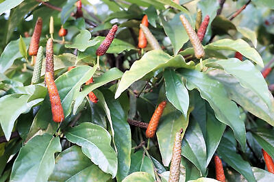 Piper longum-Indian Long Pepper Seeds- Trellis or Basket Pepper Spice