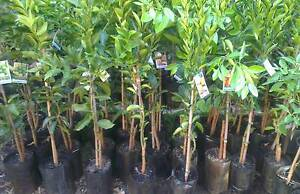 Assorted Fruit Trees & Edibles FROM $12 each Landsdale Wanneroo Area Preview