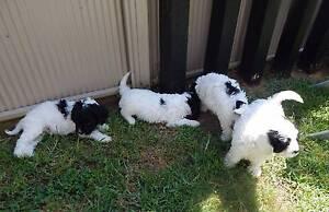 Cavoodle puppies cavalier cross poodle Narellan Camden Area Preview