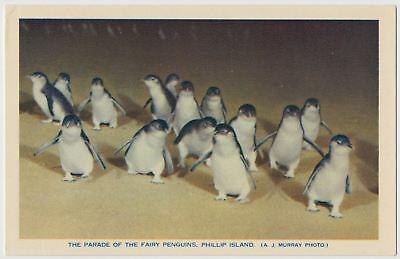 Parade of the Fairy Penguins, Phillip Island, Australia