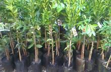 Assorted Fruit Trees Citrus Orange,Mandarin,Lemon Lime Plants Landsdale Wanneroo Area Preview