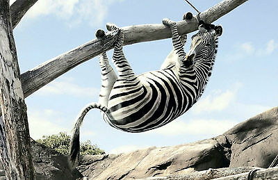 Framed Print - Zebra Hanging off a Tree Branch (Picture Poster Animal Funny Art)