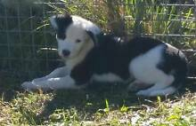 Beautiful short coat border collie puppies Stanthorpe Southern Downs Preview