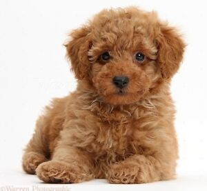 WANTED RED TOY POODLE PUPPY Ocean Reef Joondalup Area Preview