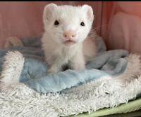 Looking for a ferret or two