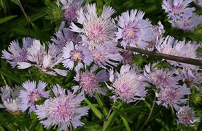 8 Blue Stokesia Plants for $10.00