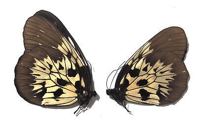 COLLECTION PAIR unmounted butterfly danaidae Danaus chrysippus CHINA A1
