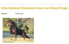 ROTTWEILER PUPPIES PEDIGREE PAPERS READY NOW FOREVER HOMES Stockleigh Logan Area Preview