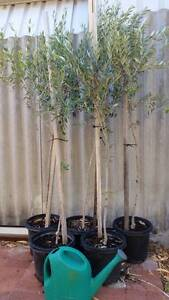 Olive Trees - Manzanillo variety Craigie Joondalup Area Preview