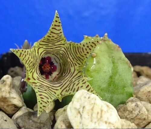 Huernia thurettii, 2 stem plant, flowering size , Phyto available