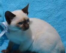 Tonkanise kittens for sale boys Boat Harbour Port Stephens Area Preview