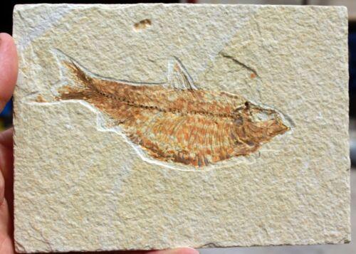 """Diplomystus dentatus  • 5.25"""" Fossil Fish w/Poop Imprint"""