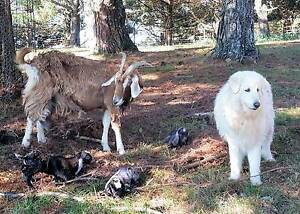 Maremma livestock guardian dog for sale Clarence Valley Preview