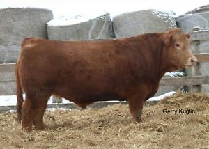 cows for sale  kijiji in ontario  buy sell  save with