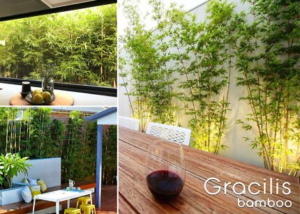 Bamboo Gracilis Plant - Cheapest Melbourne - Free Delivery
