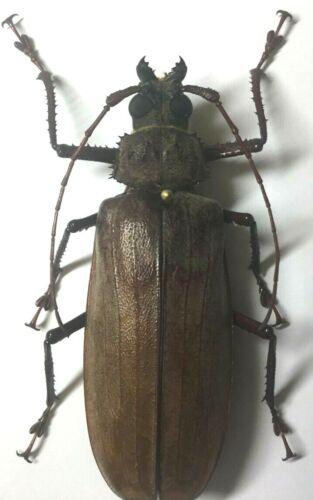 Prioninae: Xixuthrus penrousi (Female) - C.Sulawesi