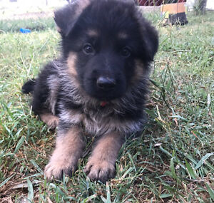 Pedigree German Shepherd Puppies Boonah Ipswich South Preview