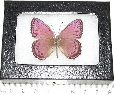 REAL FRAMED BUTTERFLY PINK PURPLE SALLYA CRENIS PECHUELI AFRICA ()