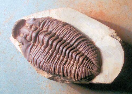 Fine large 6.2cm Tapinocalymene nodulosa; Wenlock, Ape Dale, Shropshire, UK