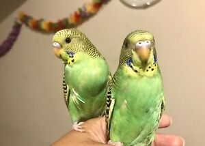 ⭐Handfed Budgies with Cage⭐